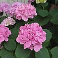 20130528 ピンクのアジサイ