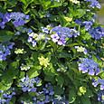 20130603 浜離宮庭園の紫陽花1