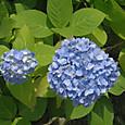 20130603 浜離宮庭園の紫陽花2