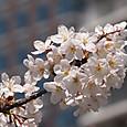 20150328 目黒川沿いの桜