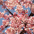 20150328 桜