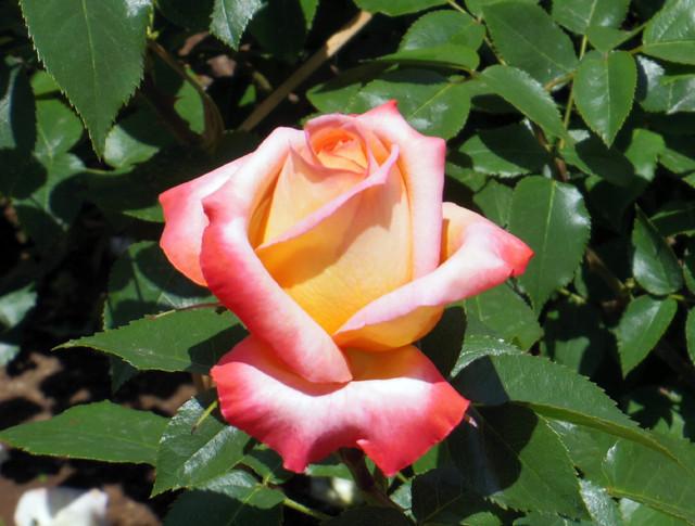 20130517 日比谷公園のバラ