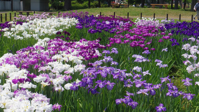 20130608 水元公園の花菖蒲1