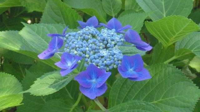 20130608 水元公園の紫陽花