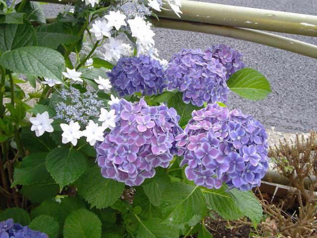 20130611 紫陽花