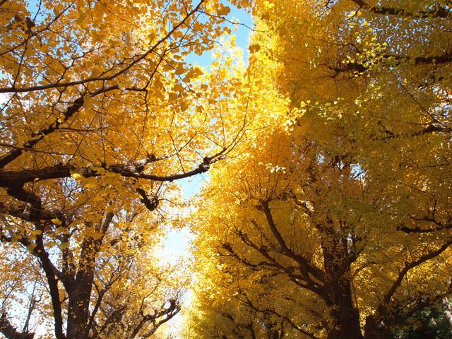 20131130 神宮外苑のイチョウ並木