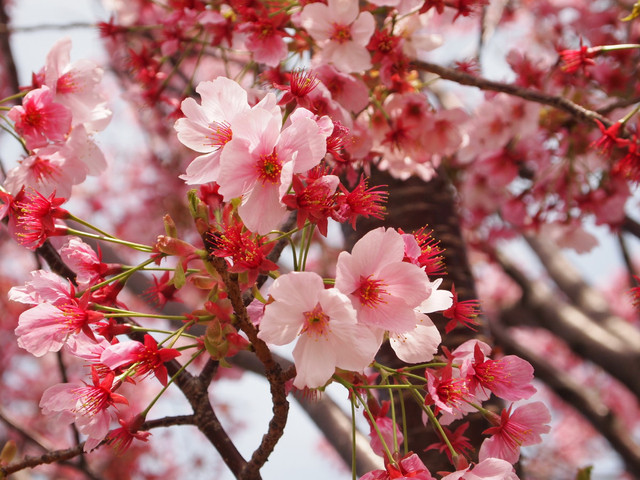 20140402 西郷山公園の桜